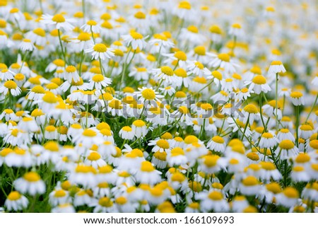 Field of white chamomile flowers. - stock photo