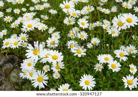 Field of white daisy flowers - stock photo