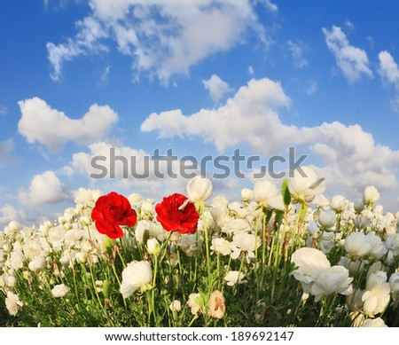 Field of white garden buttercups ranunculus asiaticus, including two red blossom buttercup - stock photo