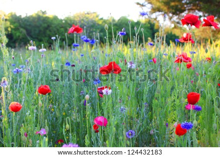 Field of wild flowers including poppies and bachelor's buttons - stock photo