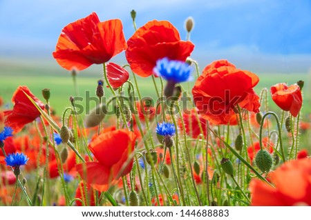 Field of wild poppies and other flowers - stock photo