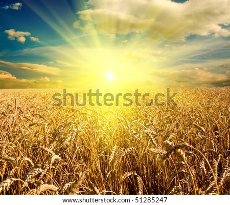 field of yellow wheat and cloud in the sky - stock photo