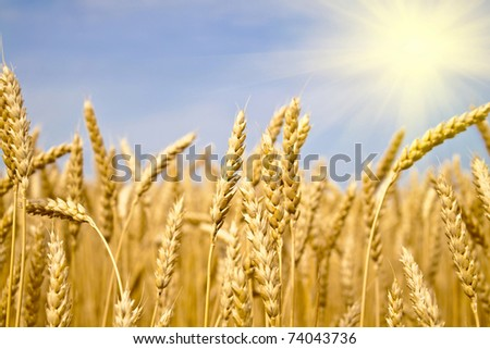 field of yellow wheat in sun rays - stock photo