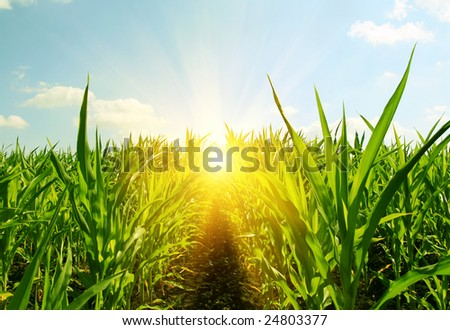 field of young corn and sun sky - stock photo