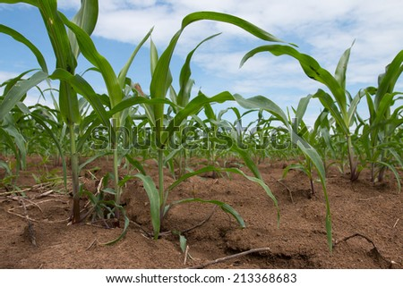 Field of young corn plants - stock photo