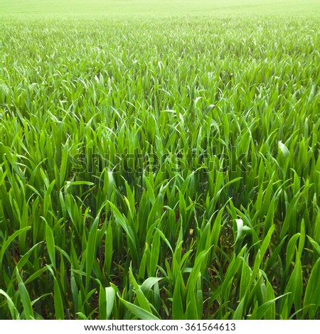 Field of young wheat - stock photo