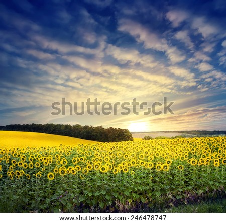 Field with a bright yellow sunflower under cloudy dramatic sunset sky - stock photo