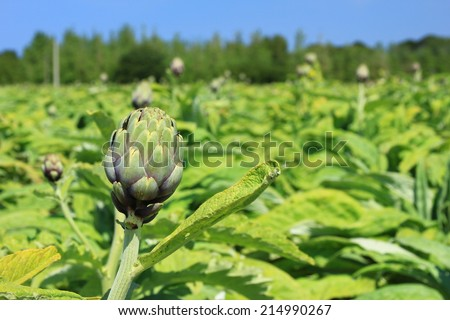 Field with artichokes (Cynara cardunculus, Cynara scolymus) in the north of Brittany, Finistere, France - stock photo