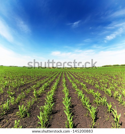 field with corn - agriculture landscape - stock photo
