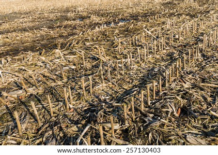 Field with empty corn cobs, stalks and leaves left after harvest. - stock photo
