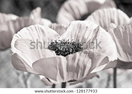 Field with flower of the poppy. In sepia - stock photo