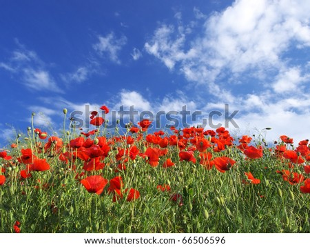 Field with flower of the poppy on background blue sky - stock photo