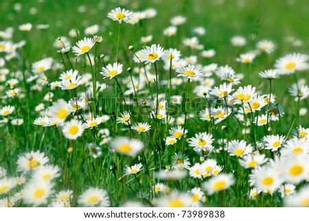 Field with fresh camomiles in green grass. Shallow DOF. - stock photo