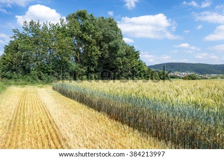 Field with green rye with very long stalk, from which has already been harvested a part for the production of whole crop silage. - stock photo