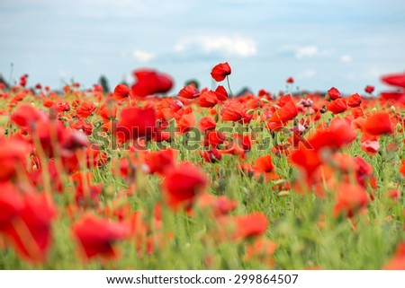 Field with red papavers and blue sky. Shallow depth of field - stock photo