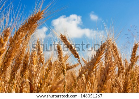 Field with ripe yellow ears of wheat against sky, farm photo - stock photo