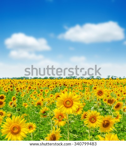 field with sunflowers and blue sky. soft focus - stock photo