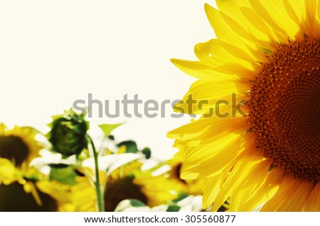 Field with sunflowers. Sunflower flower close up in summer day - stock photo