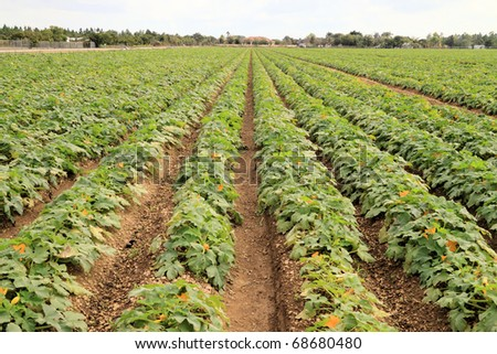 Field with yellow squash ready to be harvested - stock photo