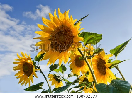 field with yellow sunflowers against the blue sky - stock photo