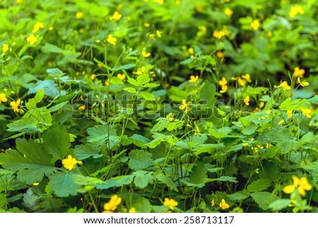 Fields are flowering in the summer for biodiesel production - stock photo