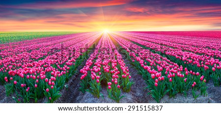 Fields of blooming white tulips at sunrise. Beautiful outdoor scenery in Netherlands, Europe. - stock photo