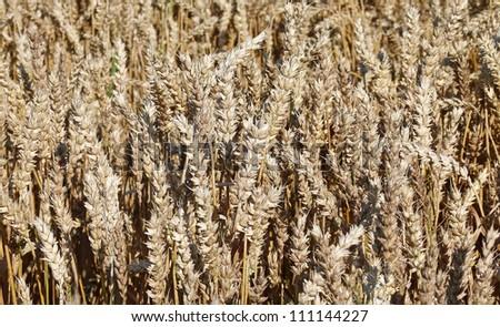 Fields of wheat - stock photo