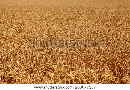 Fields of wheat at the end of summer  - stock photo