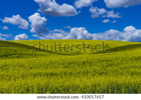 Fields of  yellow canola flowers in Washington state - stock photo