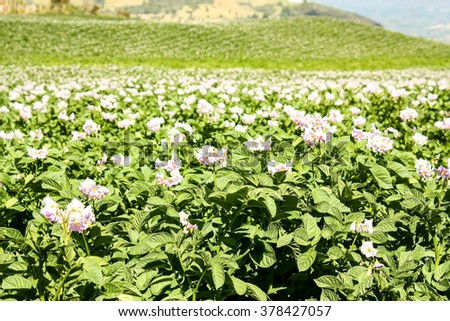 Fields planted with potatoes in bloom. Coordillera of the Andes. Colombia. - stock photo