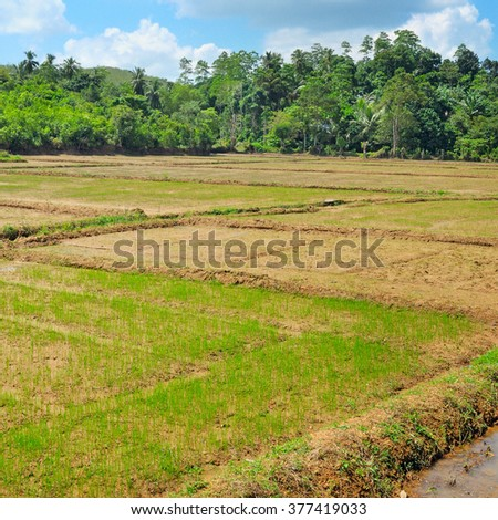 fields with crops of rice Sri Lanka - stock photo