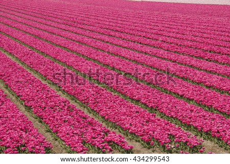 Fields with red tulips in Holland - stock photo