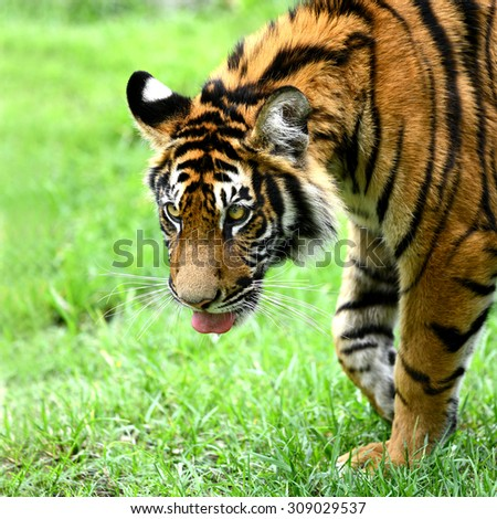 Fierce Bengal Tiger head and sticking out tongue  - stock photo