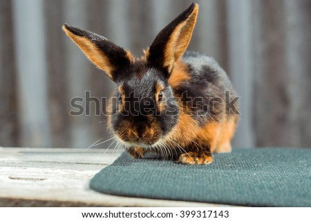 Fiery-black rabbit close-up, sitting on a table outside. Black, brown hair shining in the sun. - stock photo