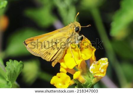 Fiery Skipper moth (Hylephila phyleus) in Camarillo, California - stock photo