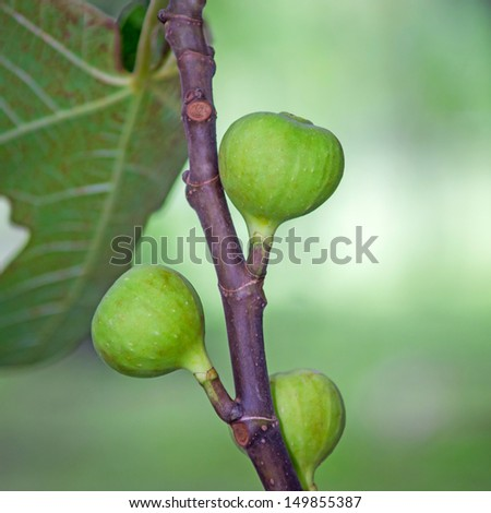 Fig tree with young fruits. - stock photo