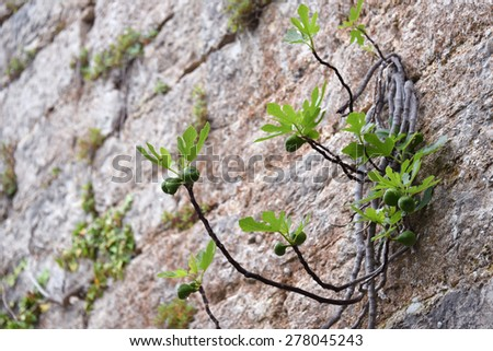 fig trying to grow on a wall of abandoned castle wall in Croatia - stock photo