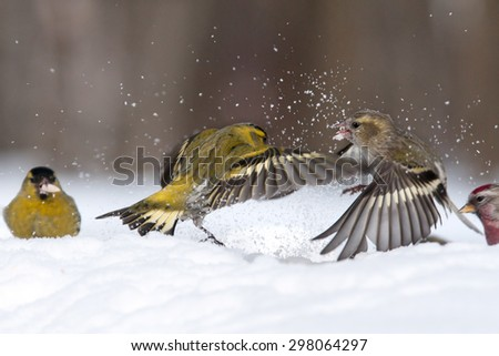 Fight of flying male and female siskins (Carduelis spinus) in winter - stock photo