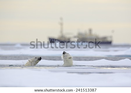 Fight of polar bears in water between drift ice with snow, blurred cruise chip in background, Svalbard, Norway - stock photo