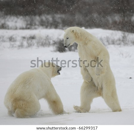 Fight of polar bears. Two polar bears fight. Tundra with undersized vegetation. Snow. - stock photo