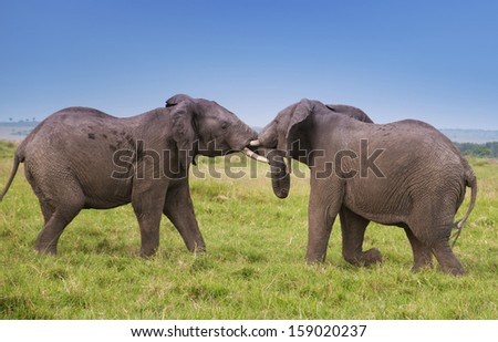 fighting african elephants in the savannah - national park masai mara in kenya - stock photo