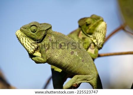 Fighting Chameleon - Rare Madagascar Endemic Reptile - stock photo