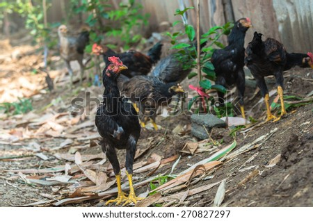 Fighting cocks or gamecocks in the farm - stock photo