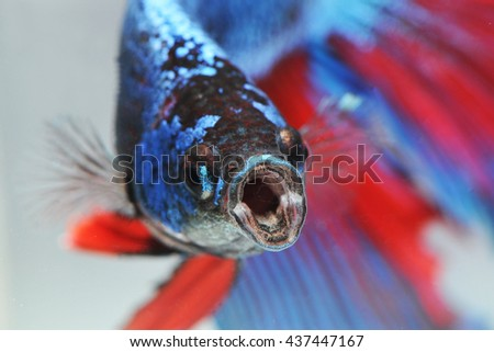 fighting fish - betta fish - stock photo