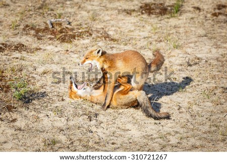 Fighting foxes - stock photo