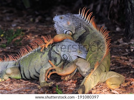 Fighting Male Iguanas in the wild in Florida / Territorial Fight - stock photo