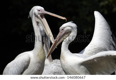 Fighting pelicans - stock photo