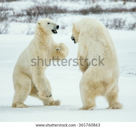 Fighting Polar bears (Ursus maritimus ) on the snow. Arctic tundra. Two polar bears play fighting. Polar bears fighting on snow have got up on hinder legs.  - stock photo