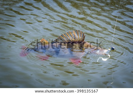 Fighting with big perch - stock photo