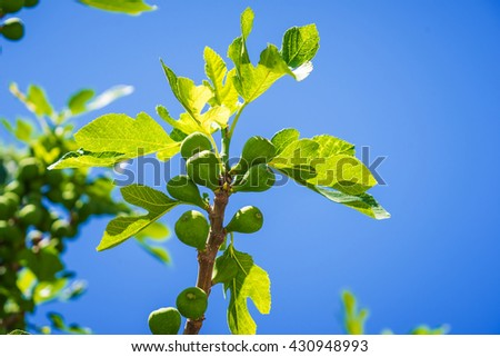 figs tree.fig shadding.fig shadow.fig branch.figs fruit.figs on tree - stock photo